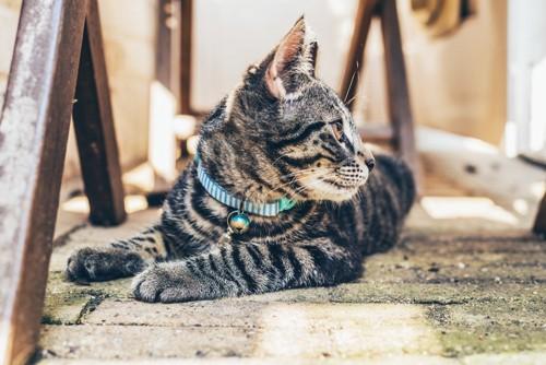 首輪を付けた猫