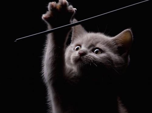 暗い部屋で遊ぶグレーの子猫