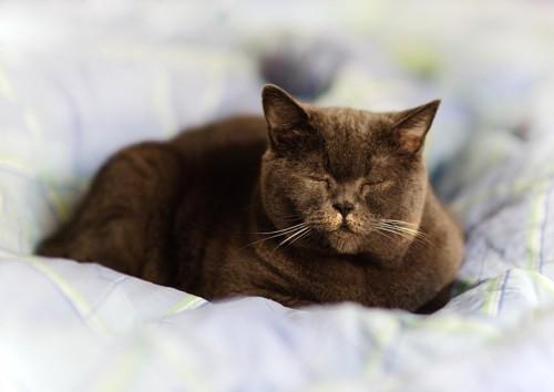 目を閉じて眠る猫