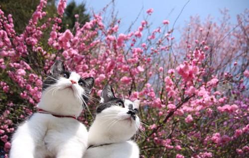 二匹の猫と梅の花