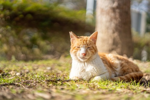 草の上で香箱座りする猫