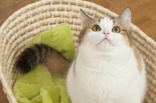籠の中で見上げる猫