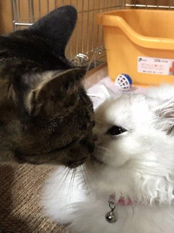 鼻で挨拶をする猫