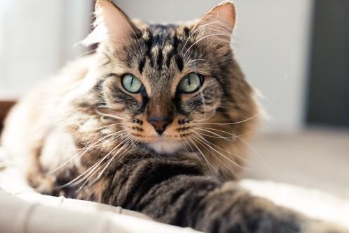 ベッドの中でくつろぐ猫