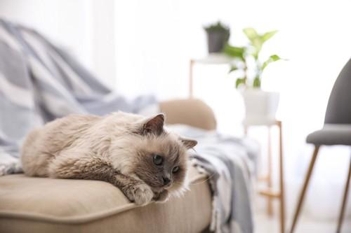 ソファの上にいる猫