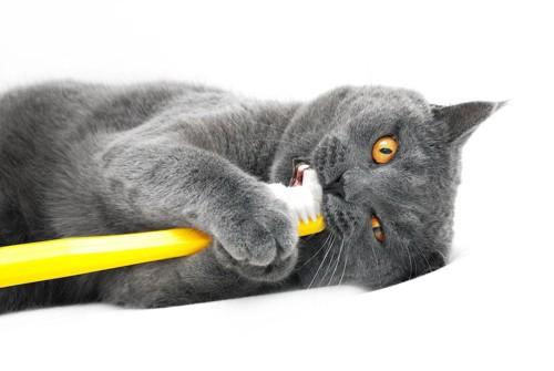 歯ブラシを咥えるグレーの猫