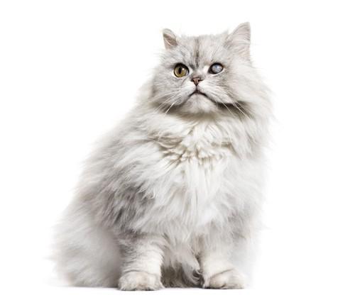白内障を患っているペルシャ猫