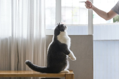 飼い主の持っているものに注目して立ち上がる猫