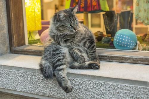 ウィンドウショッピングをする猫