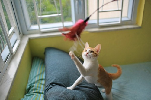 .猫じゃらしにじゃれようとする猫