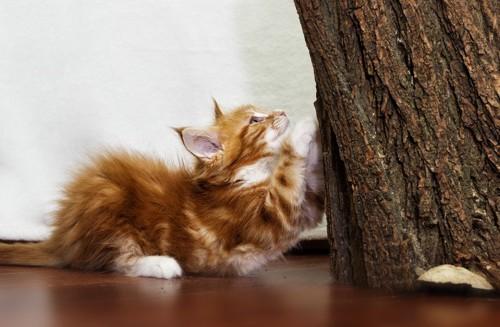 爪とぎをする子猫