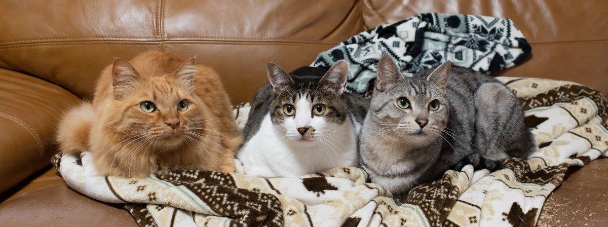 ソファの上の3匹の猫