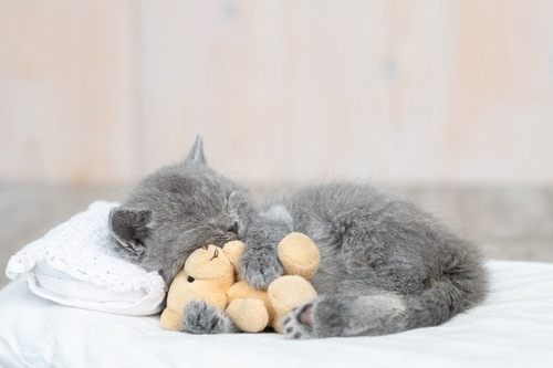 ぬいぐるみを抱いて眠る猫