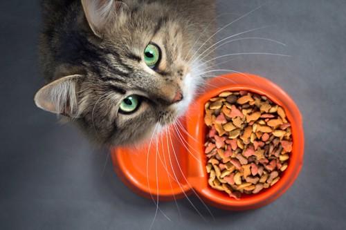餌の前で座り上を見上げる猫