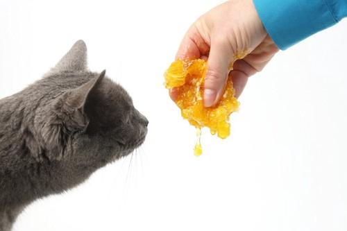 人の持つ蜂蜜を見る猫