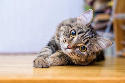 床に伏せて首をかしげる猫