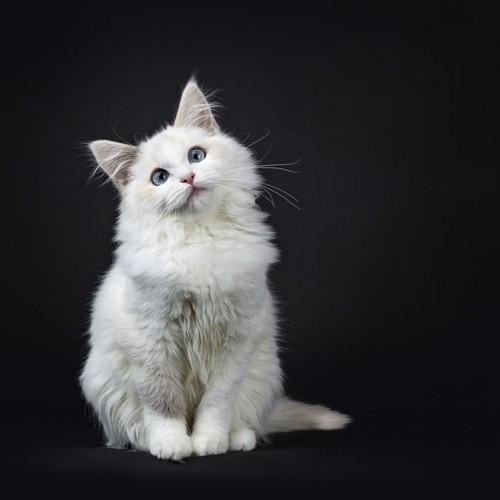 首を傾げる白猫