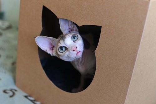 キャットハウスから顔を出す猫