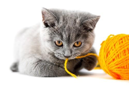 毛糸とブリティッシュショートヘアの子猫