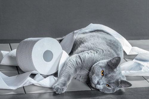 トイレットペーパーにまみれる灰猫