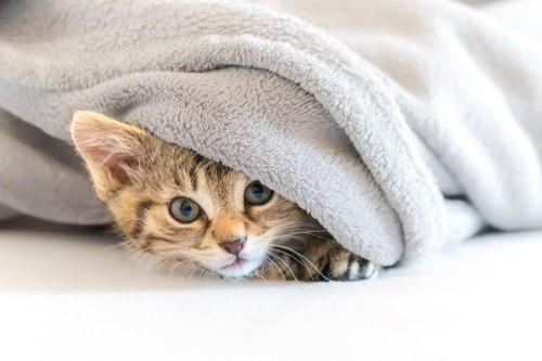 毛布の中の子猫