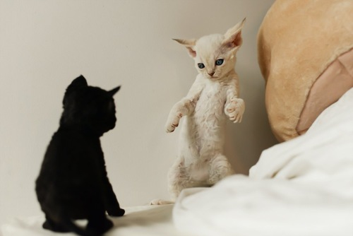 立ち上がって喧嘩する2匹の子猫