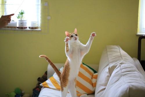 両手を上げている猫