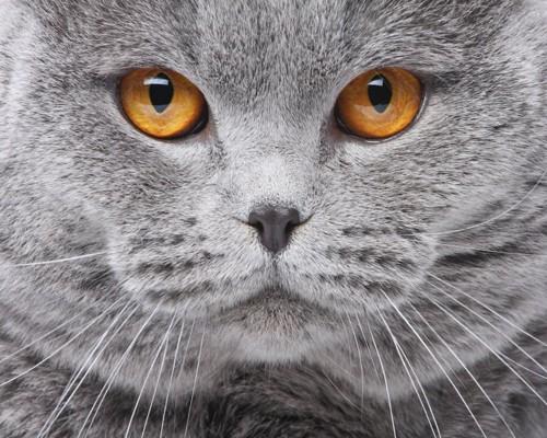 大きな瞳で見つめるグレーの猫