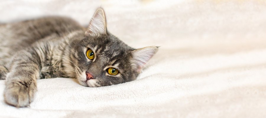 横たわってこちらを見る猫