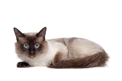 こちらを見るシャム猫