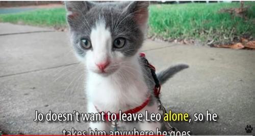 ハーネスをつけた猫