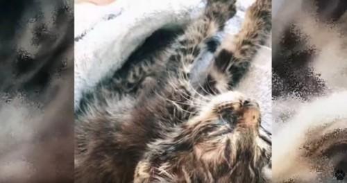 タオルの上で寝る子猫