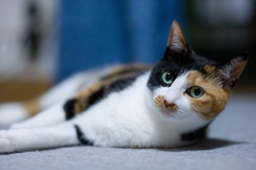 横になって顔をこちらに向ける三毛猫