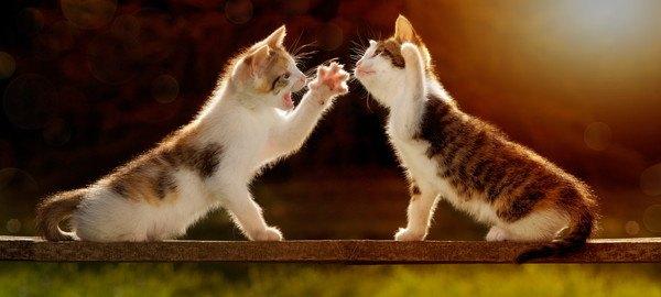 喧嘩ごっこをする爪が痛そうな子猫
