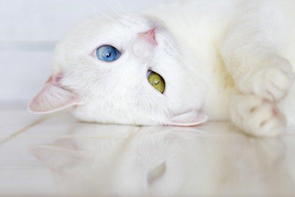 頭を床につけるオッドアイの白猫