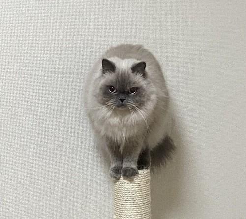 レニー♂ / 4歳 / ヒマラヤン / 3.5kg