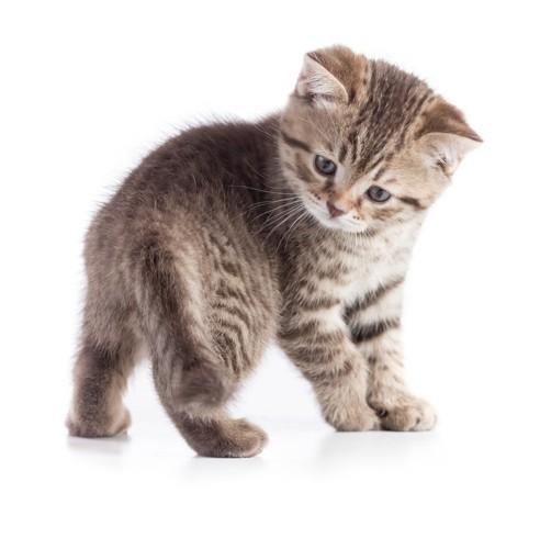しっぽを見る子猫