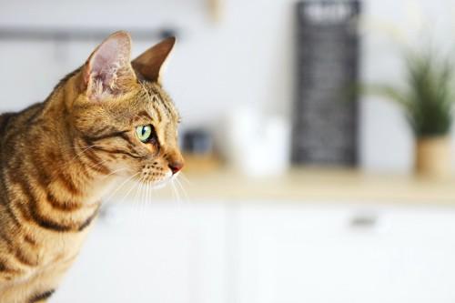 何かをジッと見つめる猫の横顔