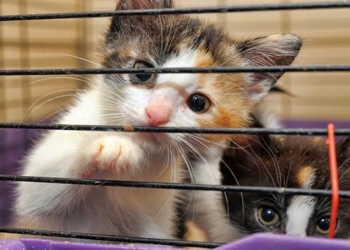 ケージに入った二匹の子猫