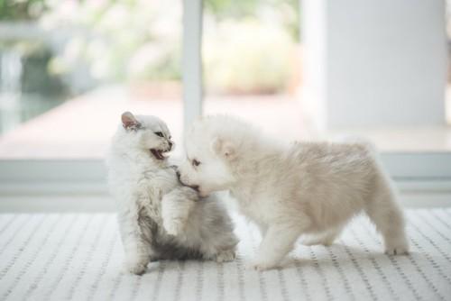 子猫を甘噛みしている子犬