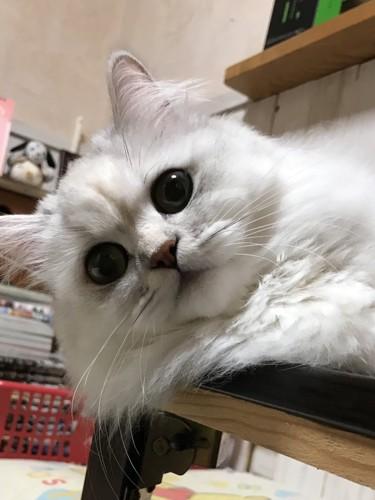 のぞき込む猫