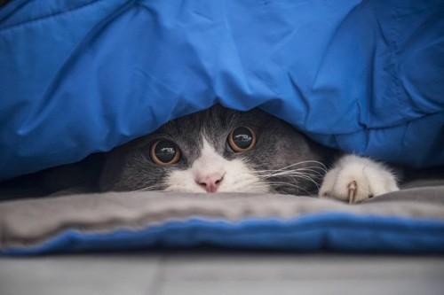 青い布団に隠れるハチワレ