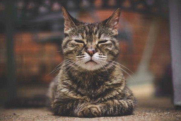 目を閉じいる老きじ猫