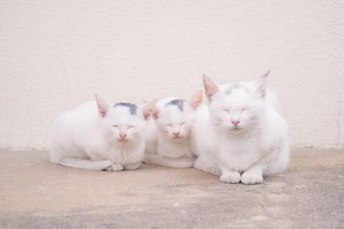仲良く寄り添って目を閉じる白猫の親子