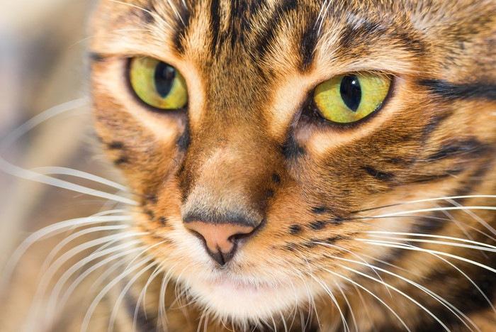トイガーの顔