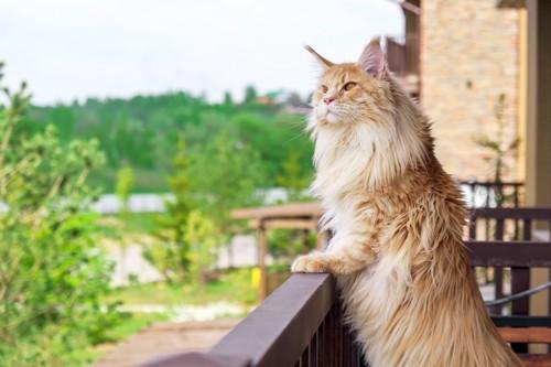 立ち上がってベランダから外を覗く猫