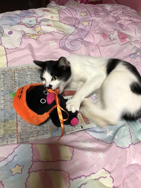 かぼちゃのかぶりものをしたぬいぐるみをかじる猫