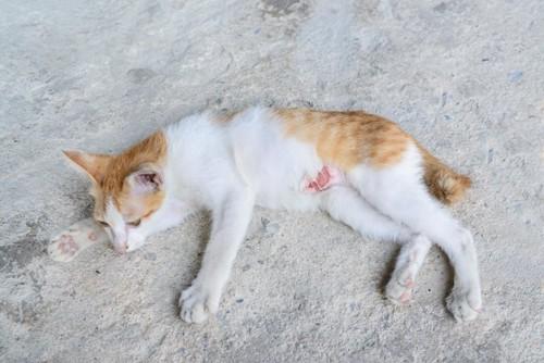 お腹をケガしてハゲのある猫
