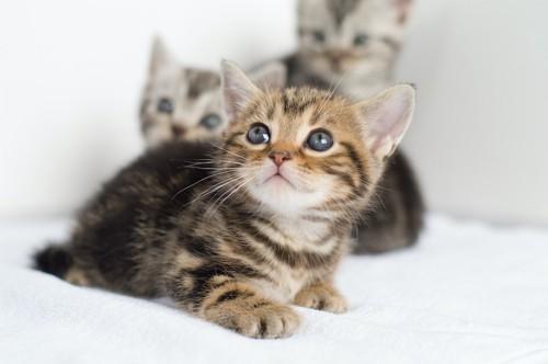 斜め上を見る子猫とその後ろの2匹の子猫