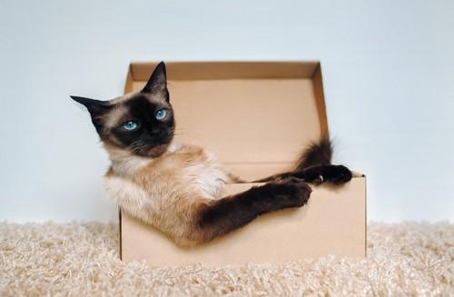 箱の中で落ち着いているシャム猫